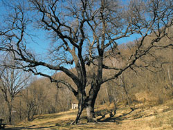 The centuries-old Rogolone oak tree (480 m) | Hike from Menaggio to the centuries-old Rogolone oak